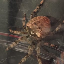 Featured spider picture of Araneus gemmoides (Cat-faced Spider)