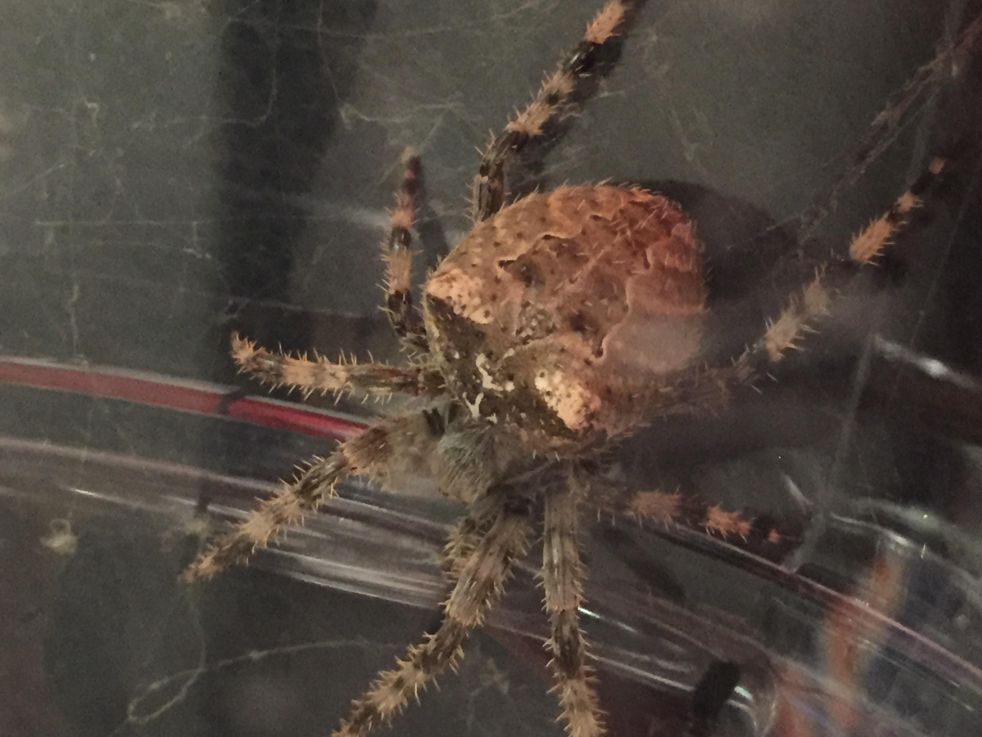 Picture of Araneus gemmoides (Cat-faced Spider) - Female - Dorsal