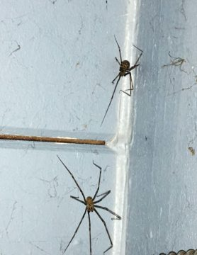 Picture of Artema atlanta (Giant Daddy-long-legs Spider) - Male,Female - Dorsal