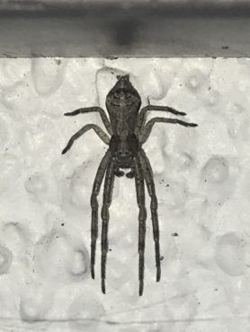 Picture of Tmarus angulatus - Dorsal
