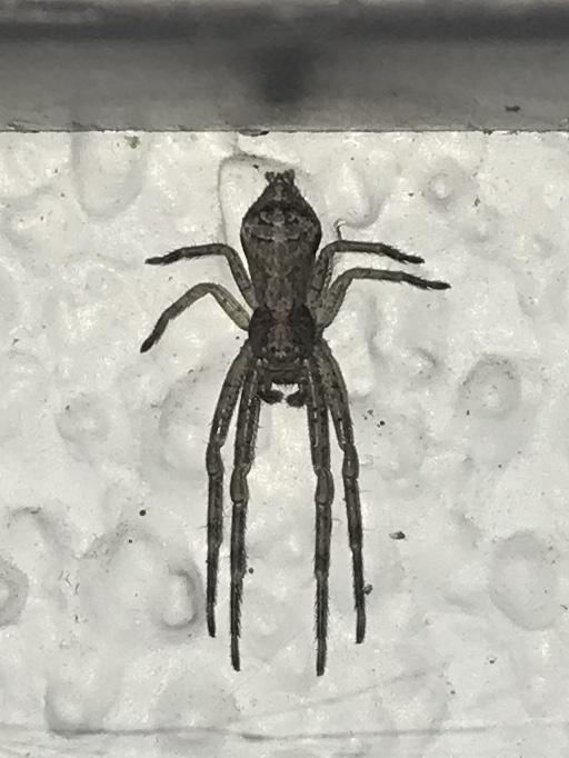 Picture of Tmarus angulatus - Dorsal