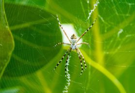 Picture of Argiope spp. (Garden Orb-weavers) - Female - Dorsal,Webs