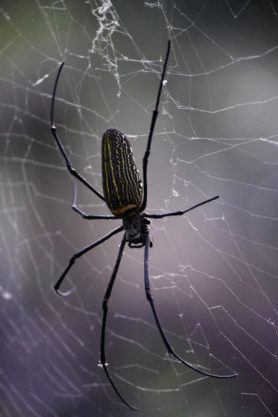 Picture of Nephila pilipes (Giant Golden Orb-weaver) - Female - Dorsal,Webs