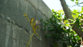 Picture of Argiope spp. (Garden Orb-weavers) - Dorsal,Webs