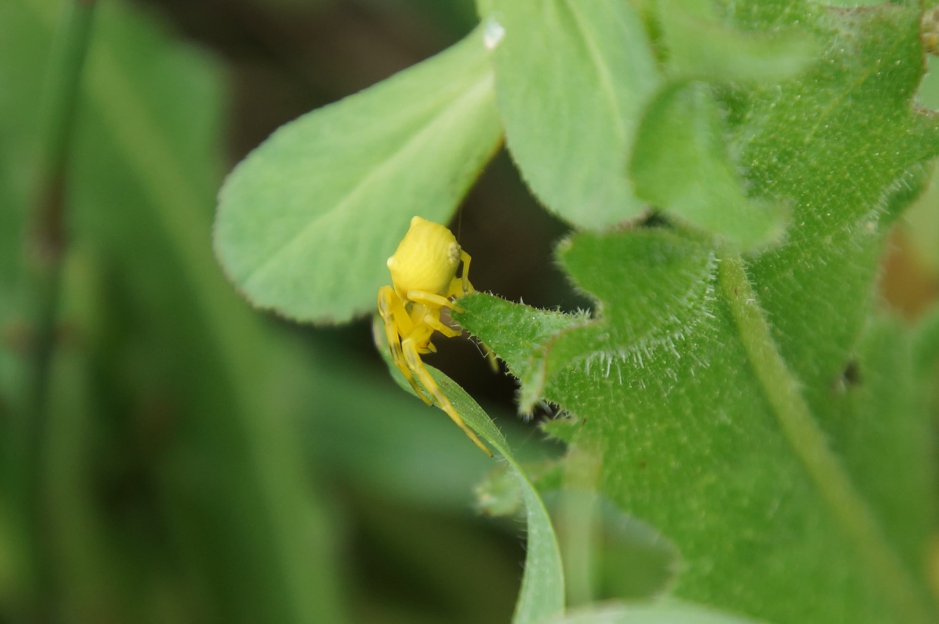 Picture of Thomisidae (Crab Spiders)