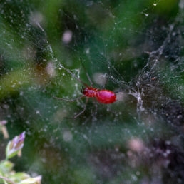 Featured spider picture of Florinda coccinea (Black-tailed Red Sheet-weaver)