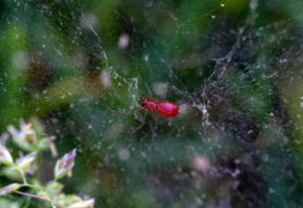 Picture of Florinda coccinea (Black-tailed Red Sheet-weaver) - Ventral,Webs