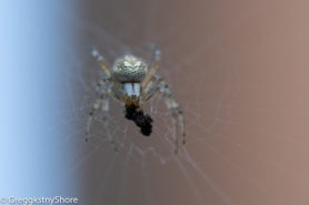Picture of Neoscona oaxacensis (Western Spotted Orb-weaver) - Eyes,Webs,Prey