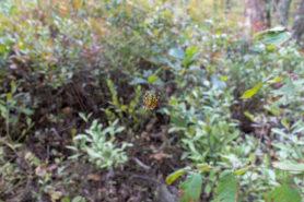 Picture of Araneus marmoreus (Marbled Orb-weaver) - Dorsal