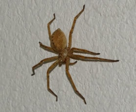 Picture of Sparassidae (Giant Crab Spiders) - Lateral