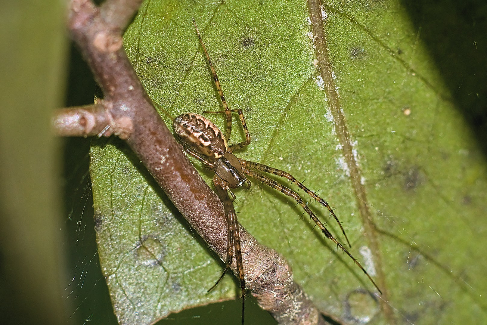 Picture of Pityohyphantes (Hammock Spiders) - Dorsal