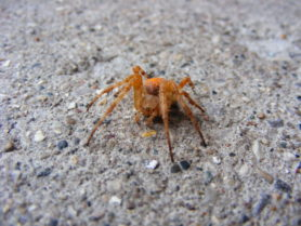 Picture of Araneus diadematus (Cross Orb-weaver) - Female - Eyes