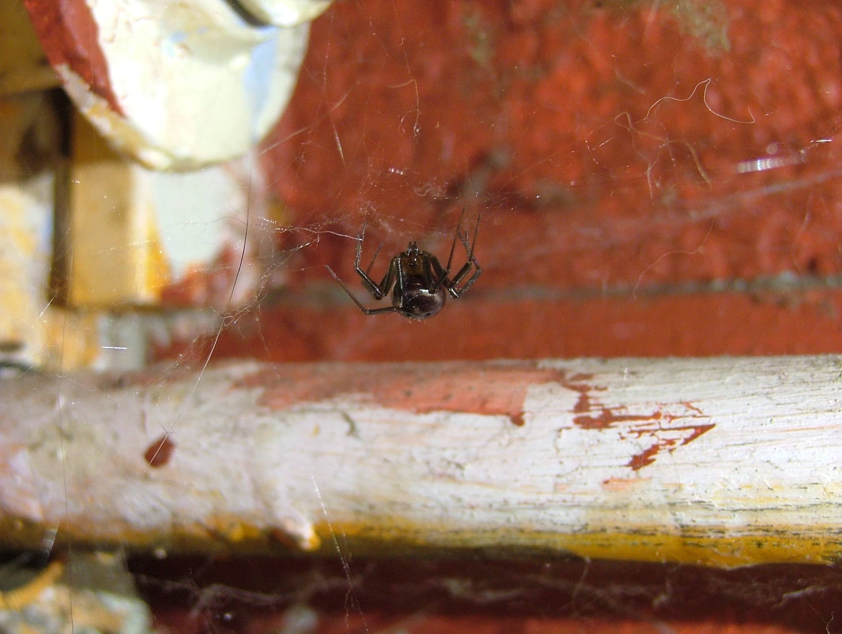 Picture of Steatoda grossa (False Black Widow) - Webs