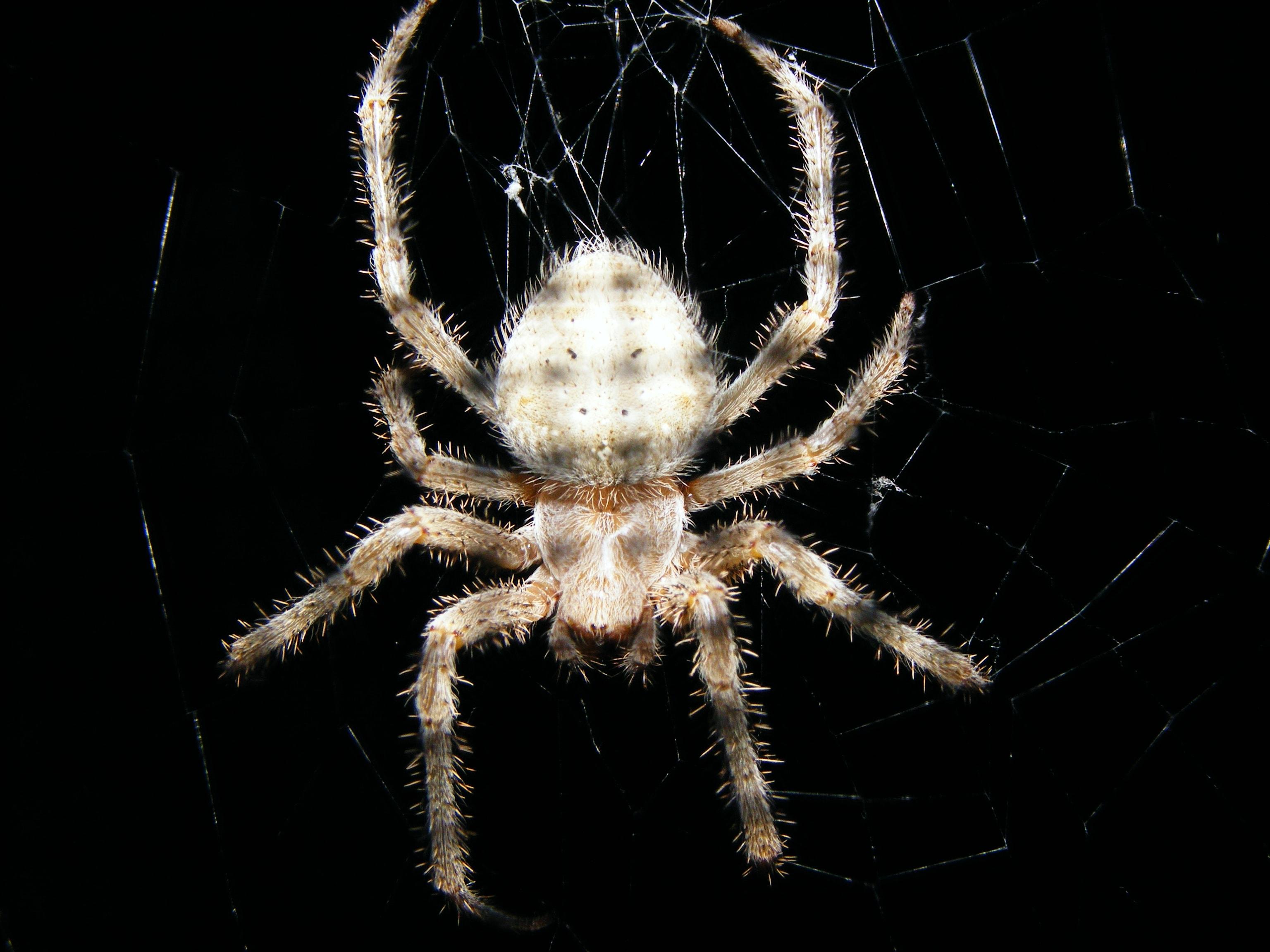 Picture of Araneus cavaticus (Barn Orb-weaver Spider) - Dorsal,Webs