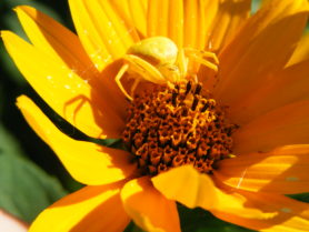 Picture of Misumena vatia (Golden-rod Crab Spider) - Female - Eyes