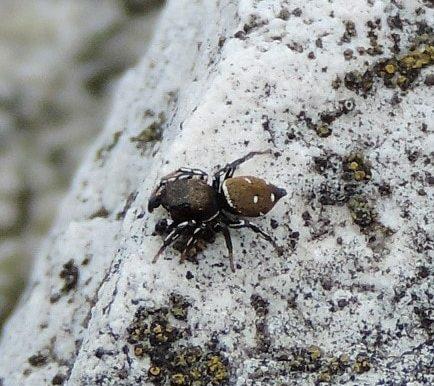 Picture of Heliophanus kochii - Male - Dorsal