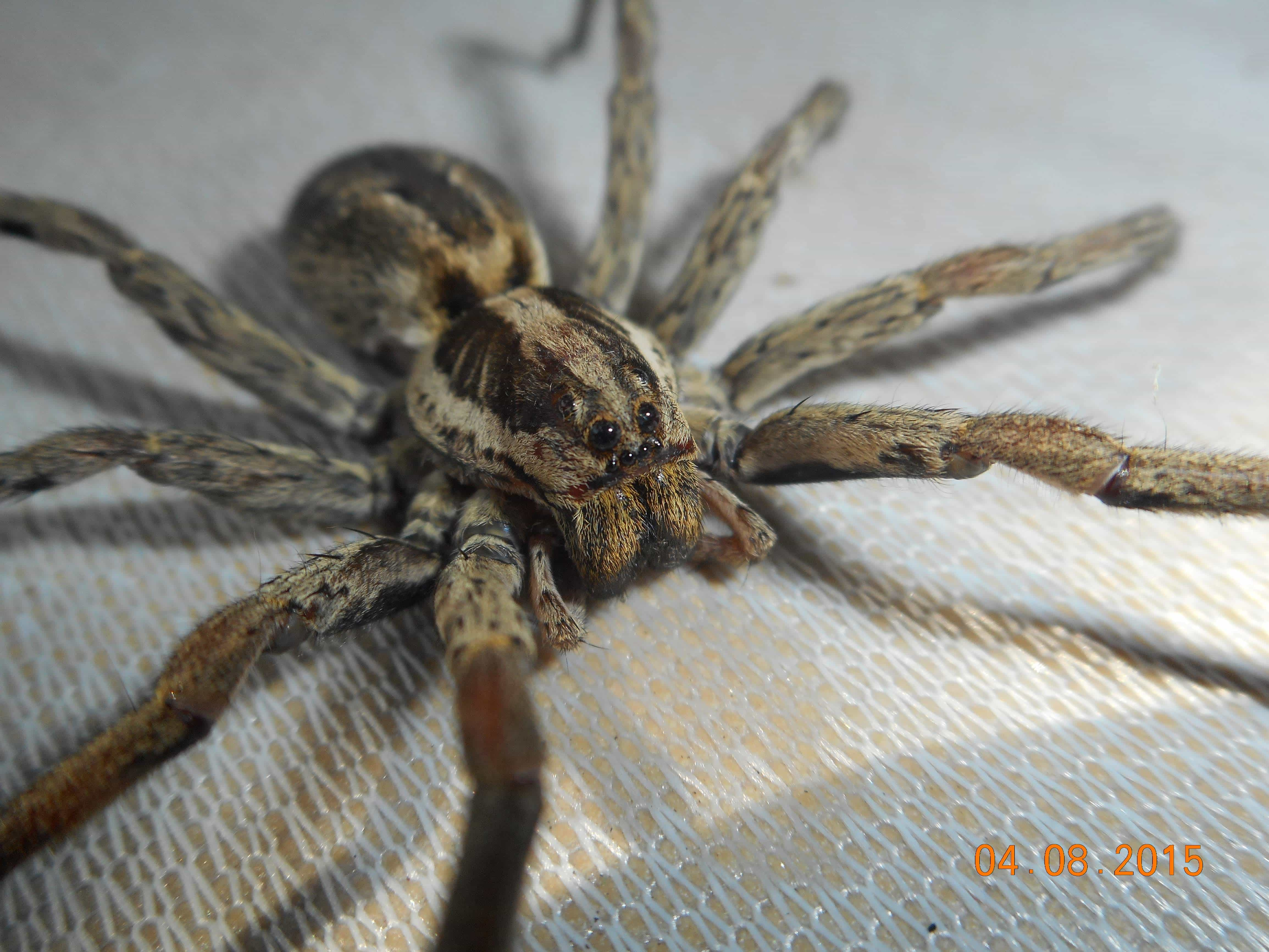 Picture of Lycosidae (Wolf Spiders) - Dorsal,Eyes