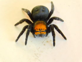 Picture of Eresus spp. (Ladybird Spiders) - Eyes