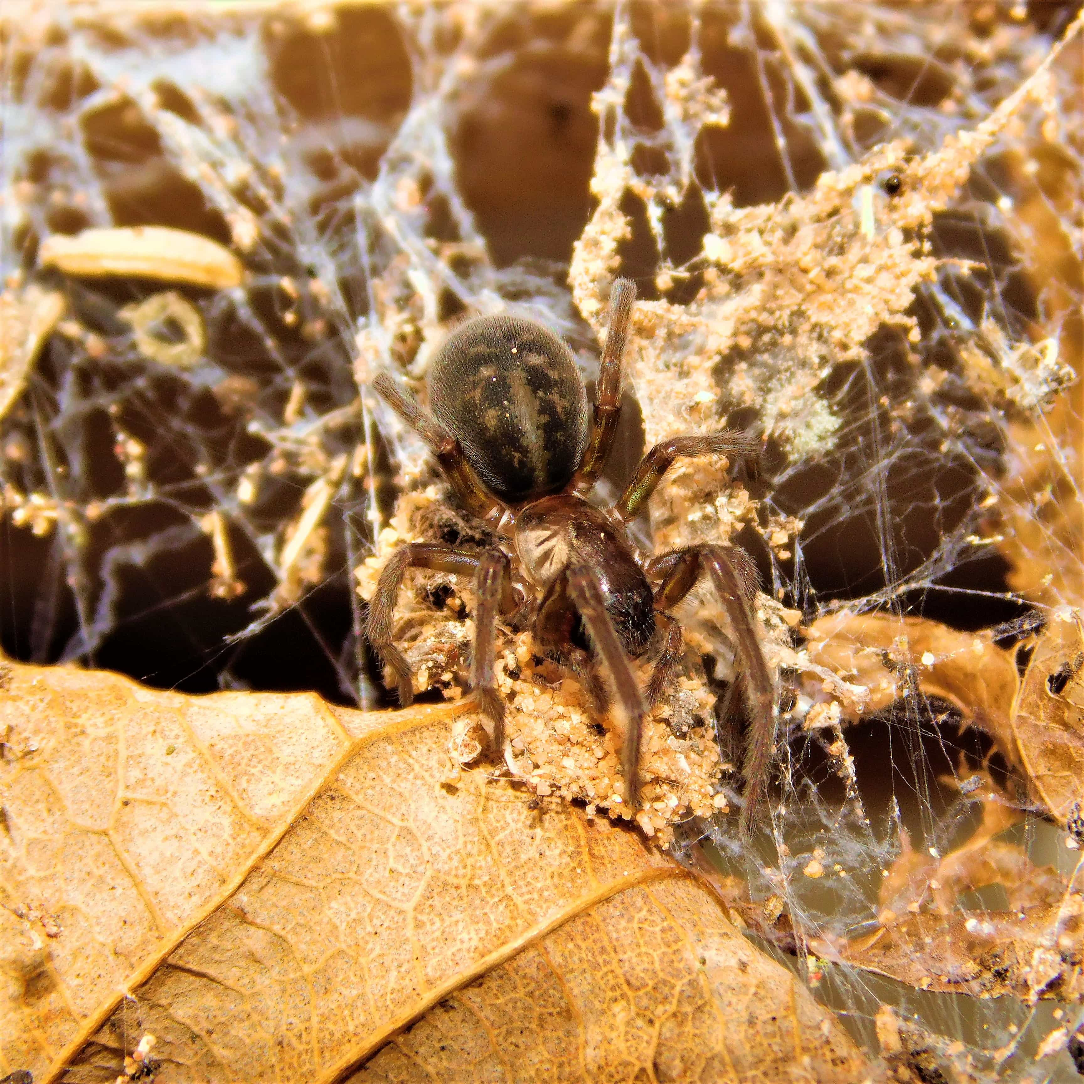 Picture of Amaurobius ferox (Black Lace-Weaver) - Female - Dorsal,Webs