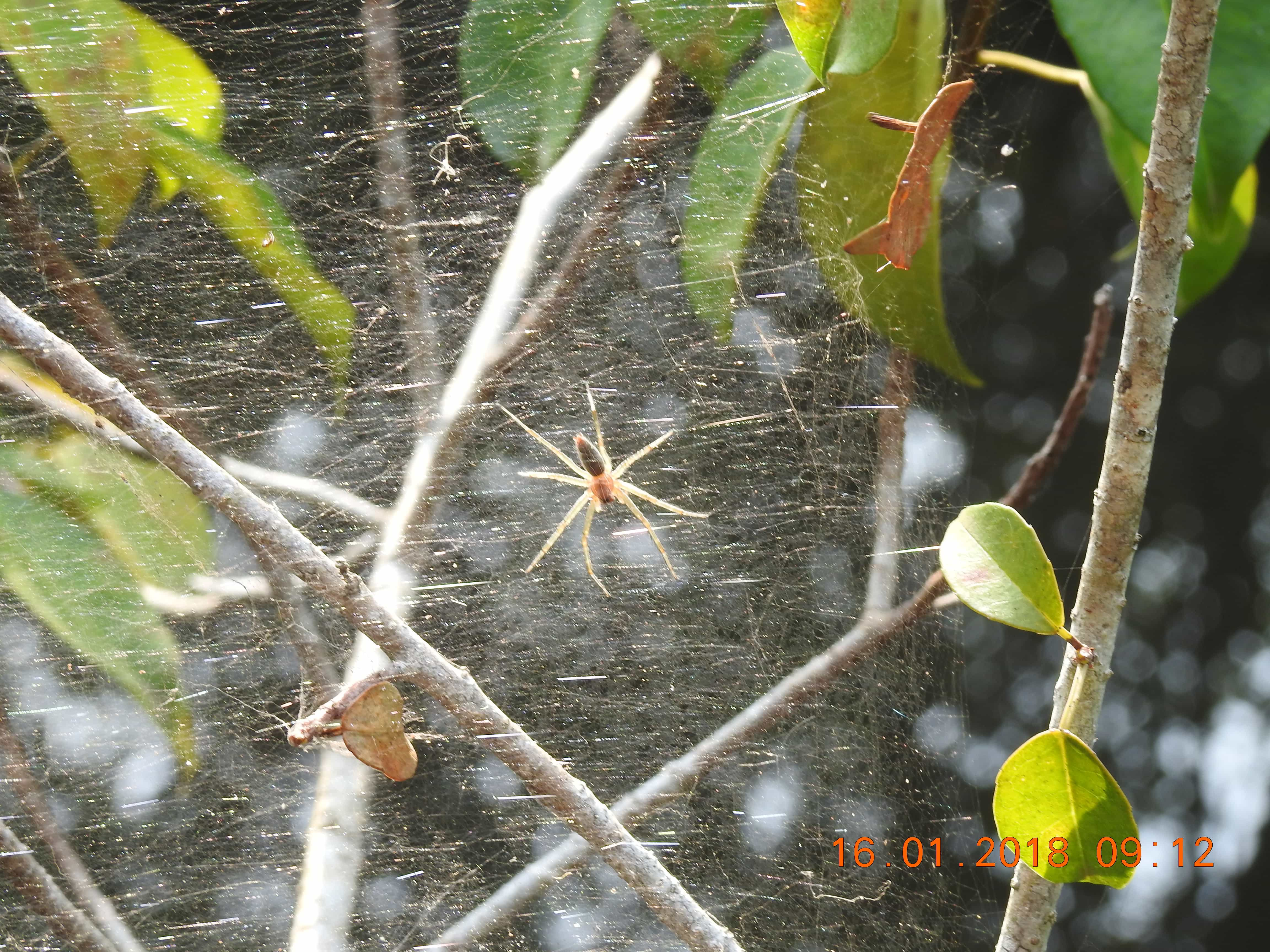 Picture of Pisauridae (Nursery Web Spiders) - Dorsal,Webs