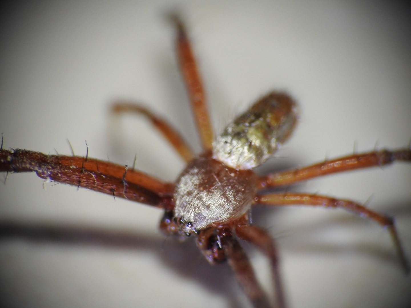 Picture of Argiope trifasciata (Banded Garden Spider) - Male - Dorsal