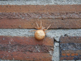 Picture of Araneus gemmoides (Cat-faced Spider) - Female - Dorsal