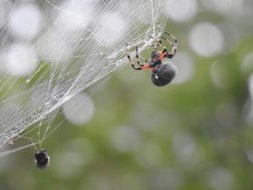 Picture of Araneus bicentenarius (Giant Lichen Orb-weaver) - Ventral,Webs
