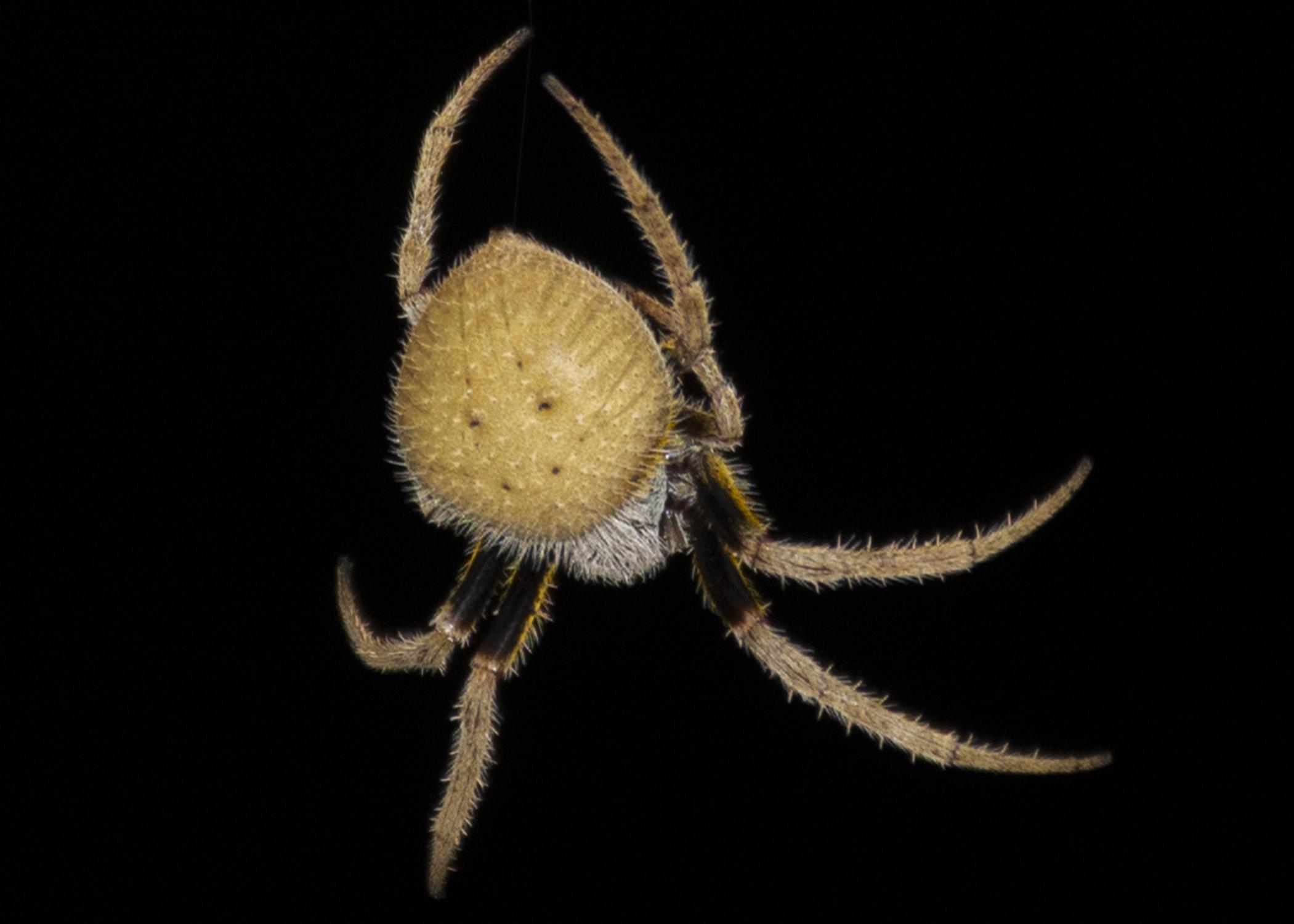Picture of Eriophora ravilla (Tropical Orb-weaver) - Dorsal