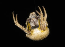 Picture of Eriophora ravilla (Tropical Orb-weaver)