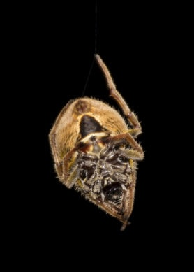 Picture of Eriophora ravilla (Tropical Orb-weaver) - Female - Ventral