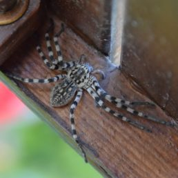 Featured spider picture of Eusparassus walckenaeri