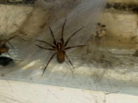 Picture of Tegenaria domestica (Barn Funnel Weaver) - Dorsal,Webs