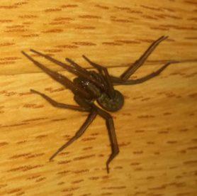 Picture of Eratigena atrica (Giant House Spider) - Dorsal,Eyes