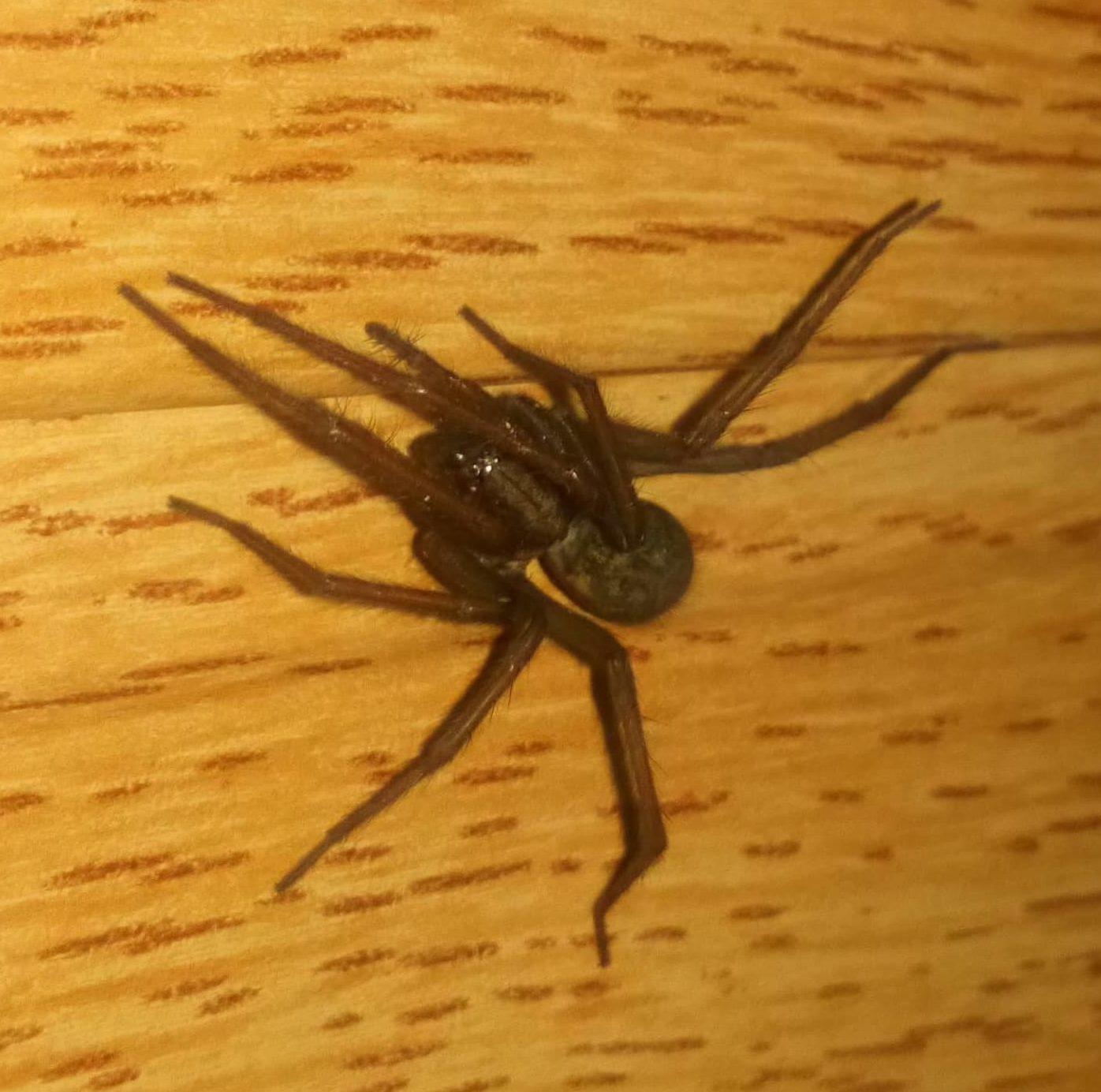 Picture of Eratigena atrica (Giant House Spider) - Dorsal,Eyes