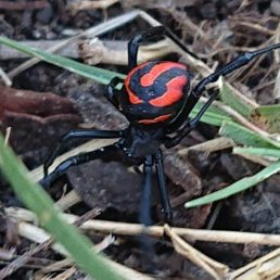 Featured spider picture of Latrodectus renivulvatus