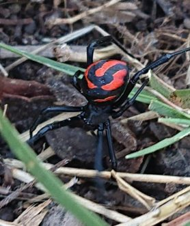 Picture of Latrodectus renivulvatus