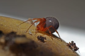 Picture of Nesticodes rufipes (Red House Spider) - Lateral