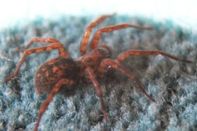 Picture of Coras spp. (Funnel Web Spiders) - Lateral