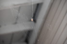 Picture of Araneus diadematus (Cross Orb-weaver) - Ventral,Webs