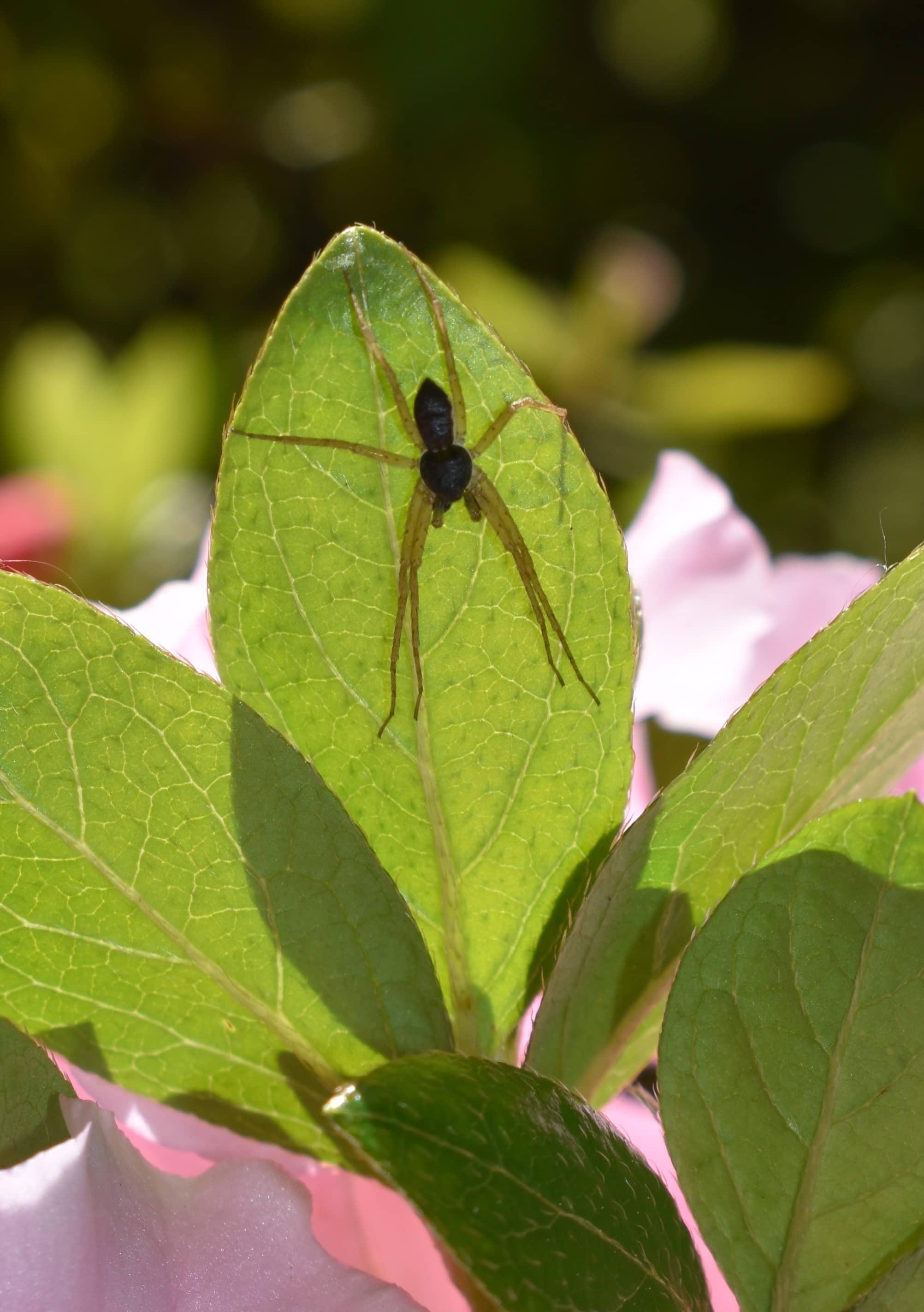 Featured spider picture of Philodromus dispar