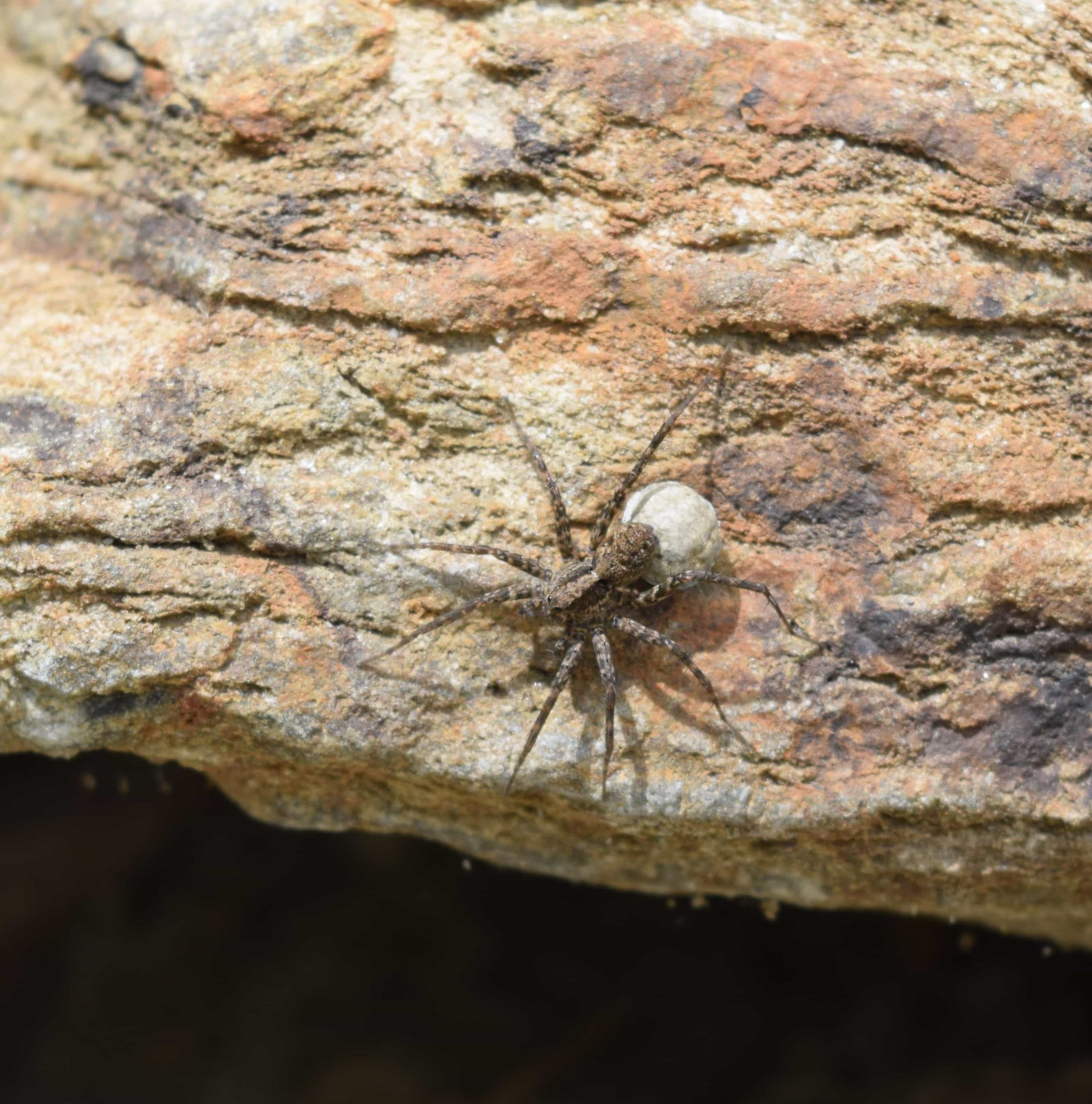 Picture of Pardosa (Thin-legged Wolf Spiders) - Female - Dorsal,Egg sacs