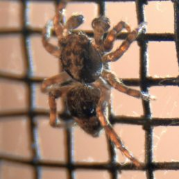 Featured spider picture of Sitticus fasciger