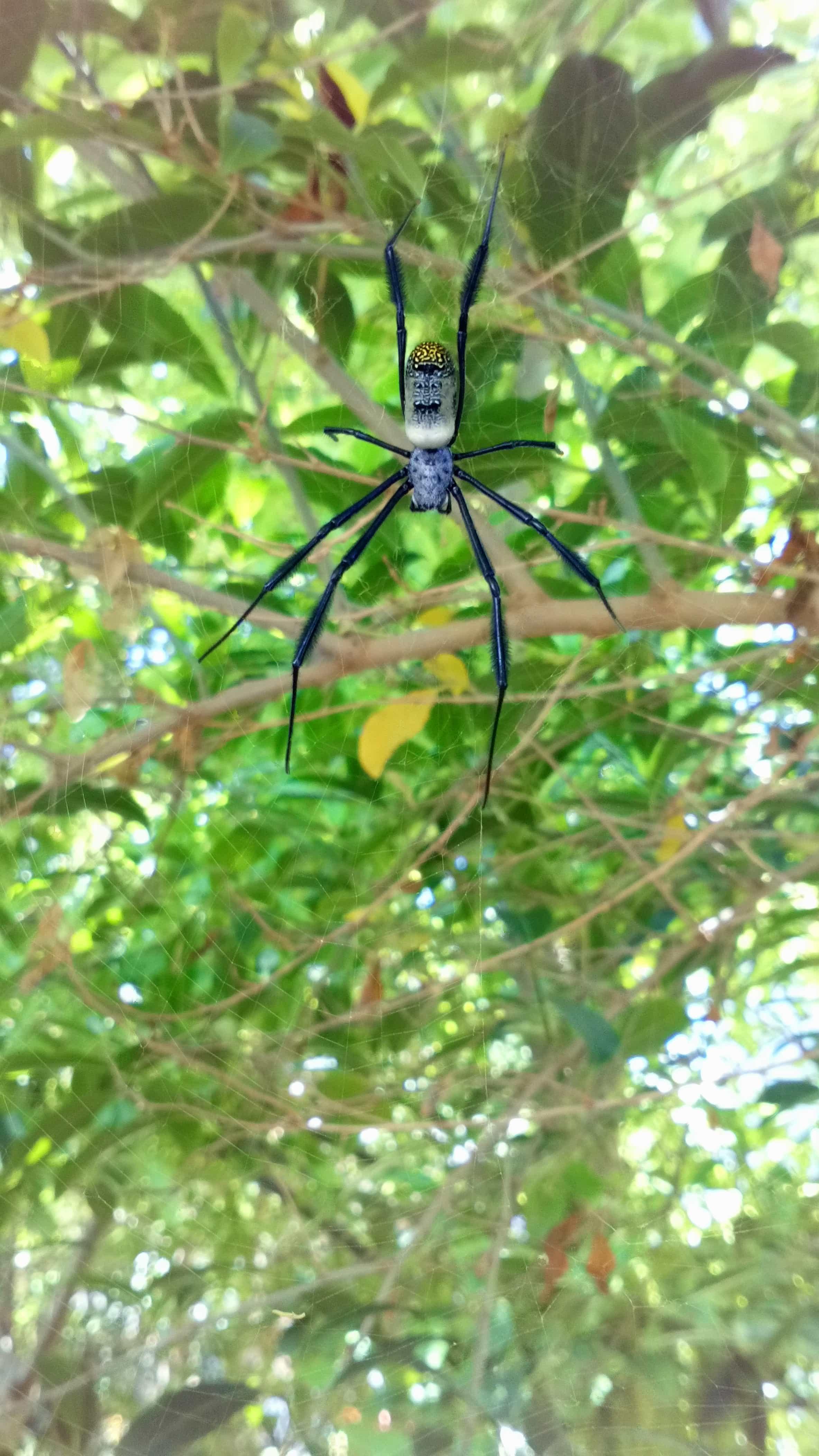 Picture of Trichonephila fenestrata (Hairy Golden Orb-weaver) - Dorsal,Webs