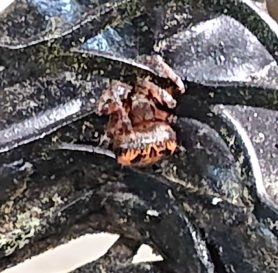 Picture of Larinioides cornutus (Furrow Orb-weaver)