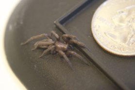 Picture of Scotophaeus blackwalli (Mouse Spider) - Lateral