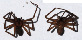 Picture of Loxosceles spp. (Recluse Spiders) - Dorsal,Ventral