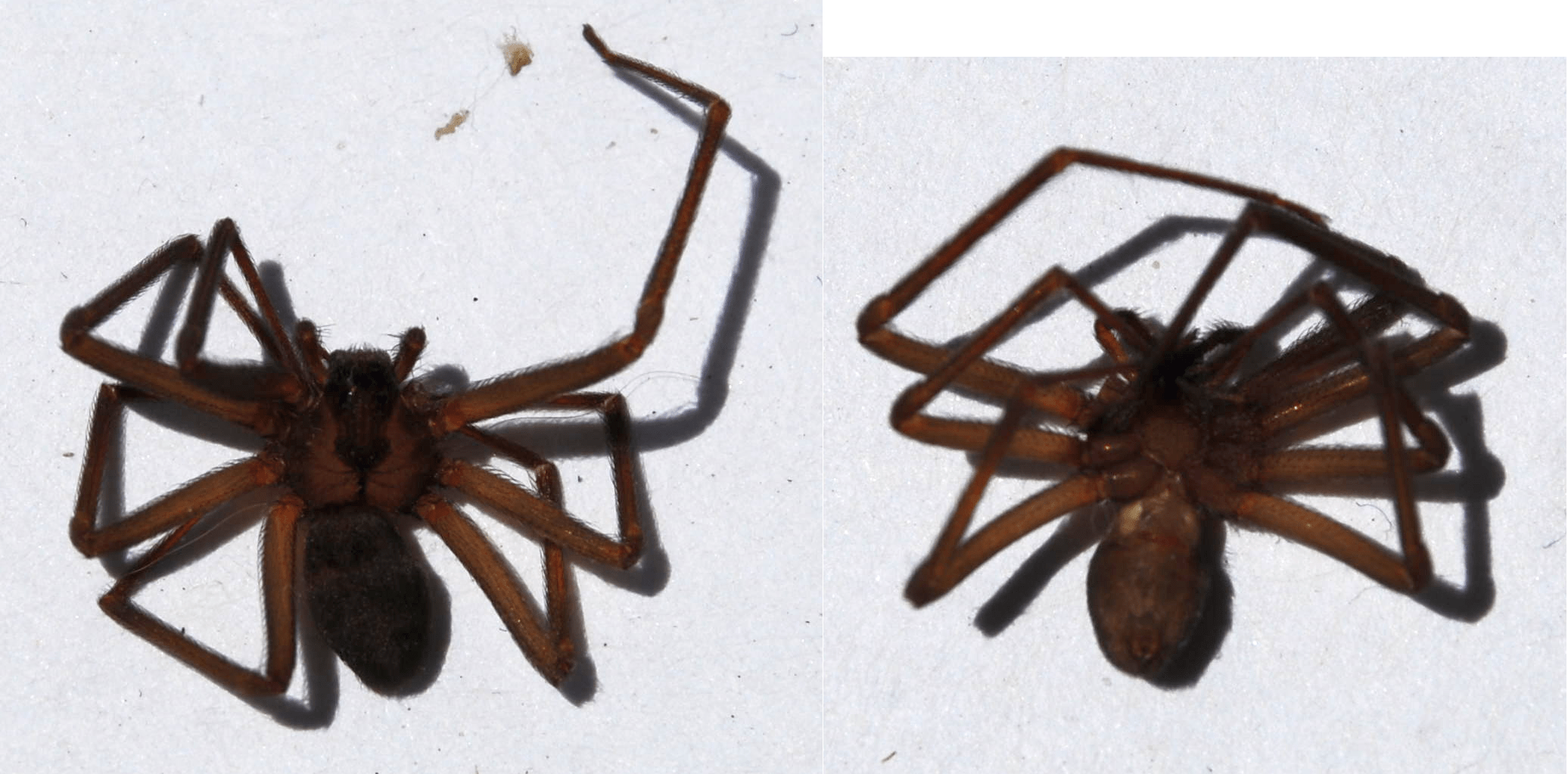 Picture of Loxosceles (Recluse Spiders) - Dorsal,Ventral