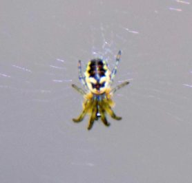 Picture of Cyclosa spp. (Trashline Orb-weavers) - Dorsal,Webs