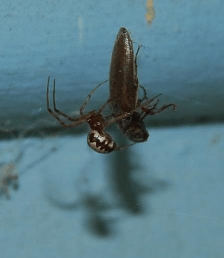 Picture of Steatoda triangulosa (Triangulate Cobweb Spider) - Lateral,Prey