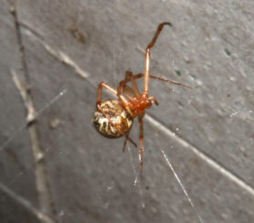 Picture of Parasteatoda tepidariorum (Common House Spider) - Ventral,Webs